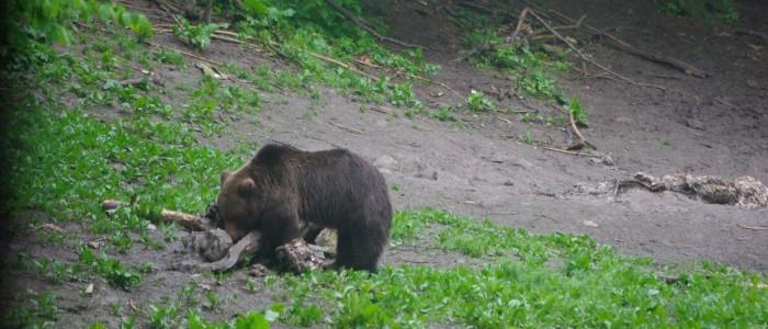 bearwatching-carpathians-romania-transylvania-large-carivores