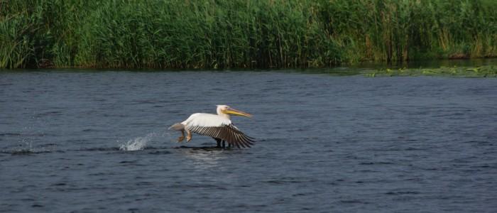 pelican-flying-birdwatching-danube-delta