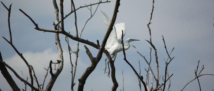 danube-delta-birdwatching-tours-egret