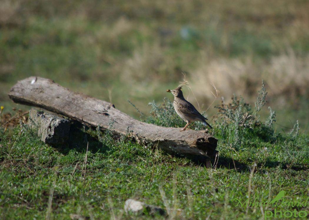 romania-birdwatching-tours-danube-delta-carpathians-transylvania--7