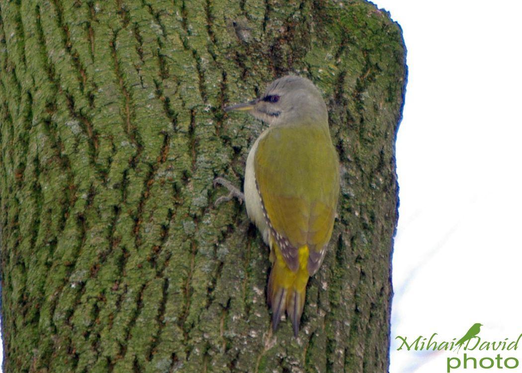 romania-birdwatching-tours-danube-delta-carpathians-transylvania-4
