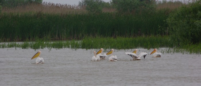 pelicans-birdwatching-wildlife-tours-danube-delta