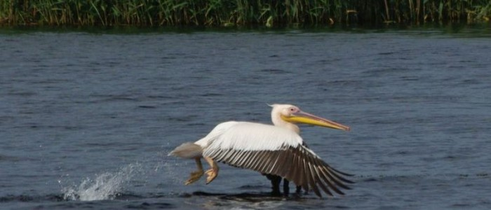 danube-delta-pelican-birdwatching