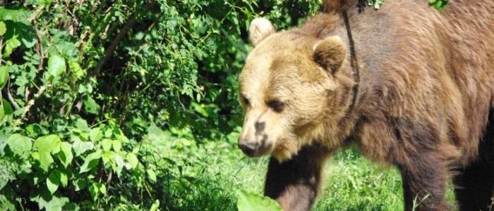 bearwatching-carpathians-romania-transylvania
