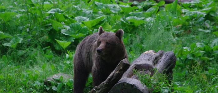 bearwatching-carpathians-romania-transylvania-large-carivores-hide-bear