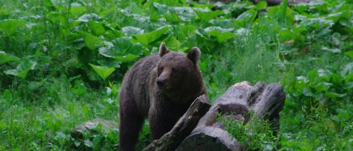 bearwatching-carpathians-romania-transylvania-large-carivores-hide-bear