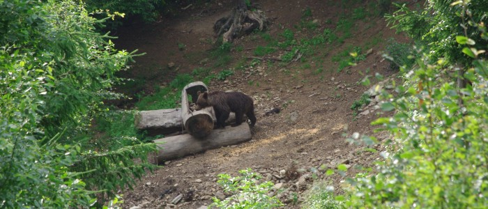 bearwatching-carpathians-large-carivores-hide-bear