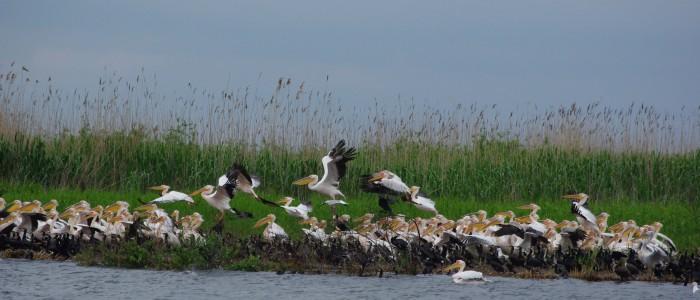 pelicans-danube-delta-birdwatching-tours
