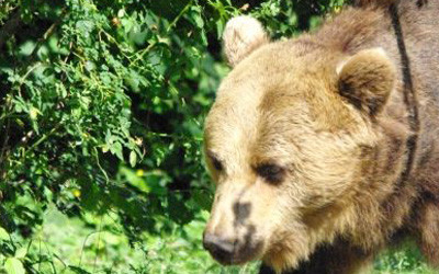 Bear watching in The Carpathians – day trip