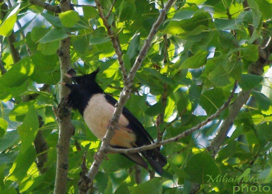 romania-birdwatching-tours-danube-delta-carpathians-transylvania-34