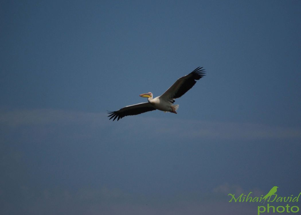 romania-birdwatching-tours-danube-delta-carpathians-transylvania-33