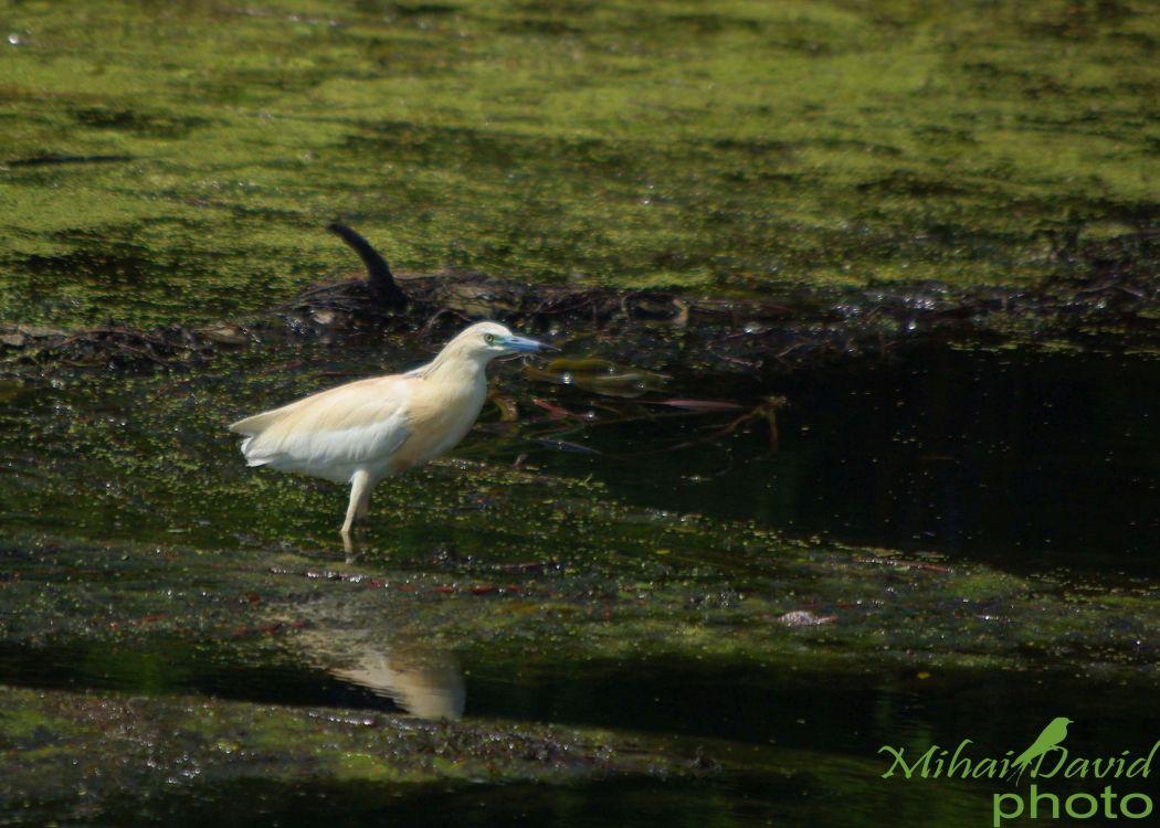 romania-birdwatching-tours-danube-delta-carpathians-transylvania-14
