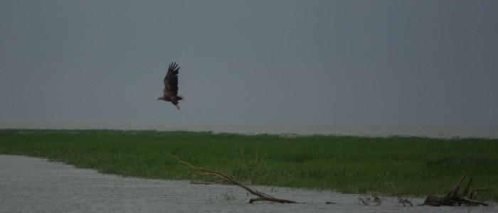 white-tailed-eagle
