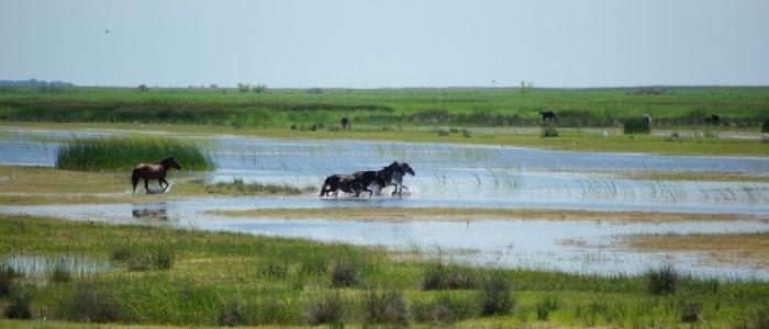 wild-horses-Letea-danube-delta