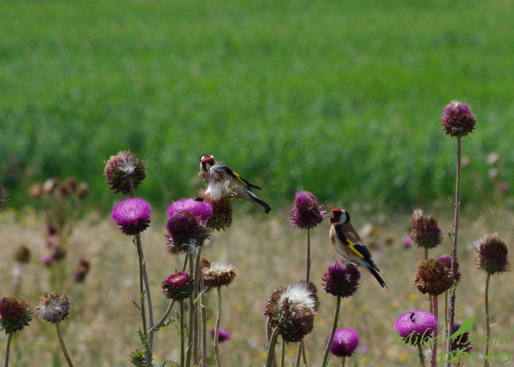 romania-birdwatching-tours-danube-delta-carpathians-transylvania-30