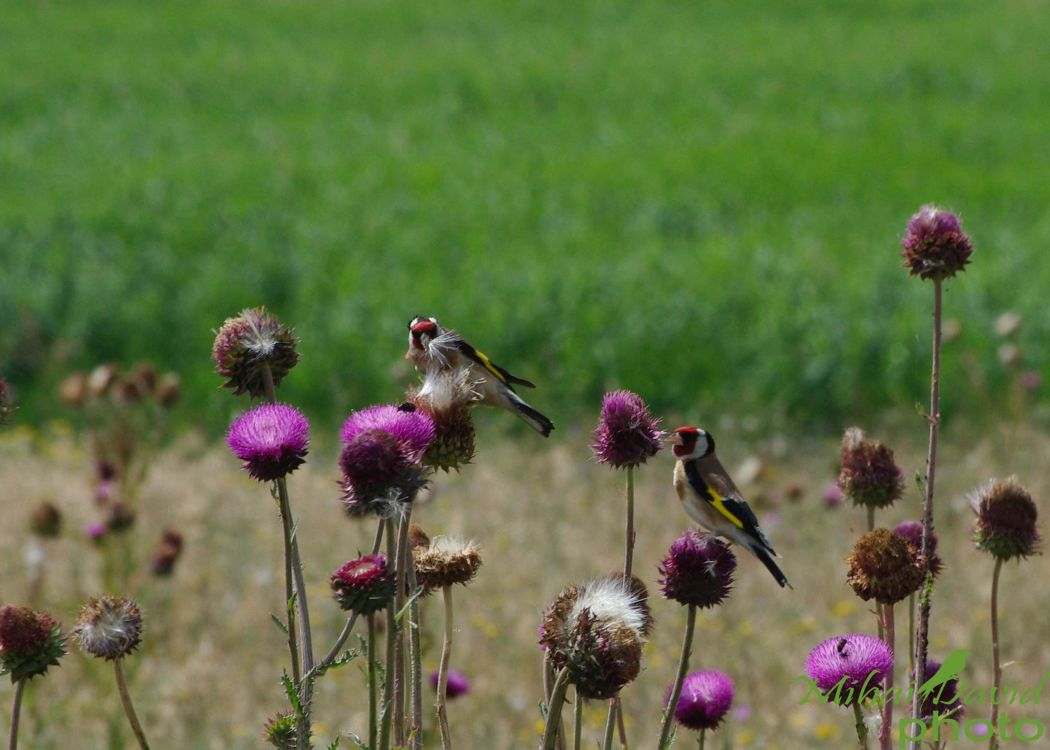 romania-birdwatching-tours-danube-delta-carpathians-transylvania-12