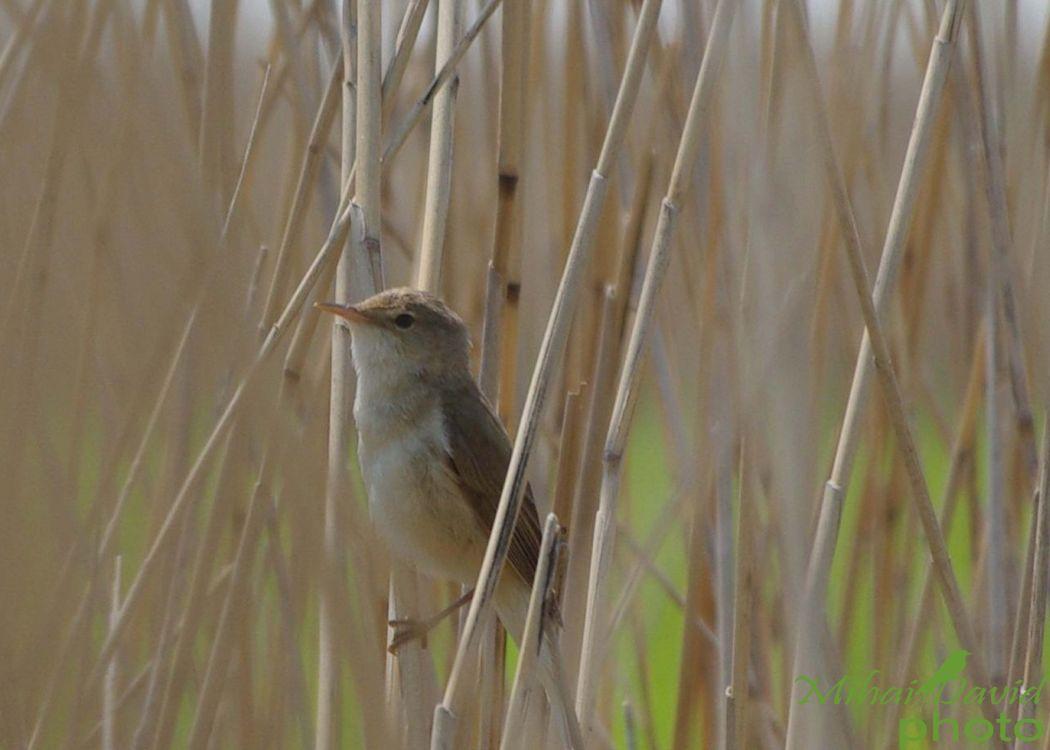 romania-birdwatching-tours-danube-delta-carpathians-transylvania-29