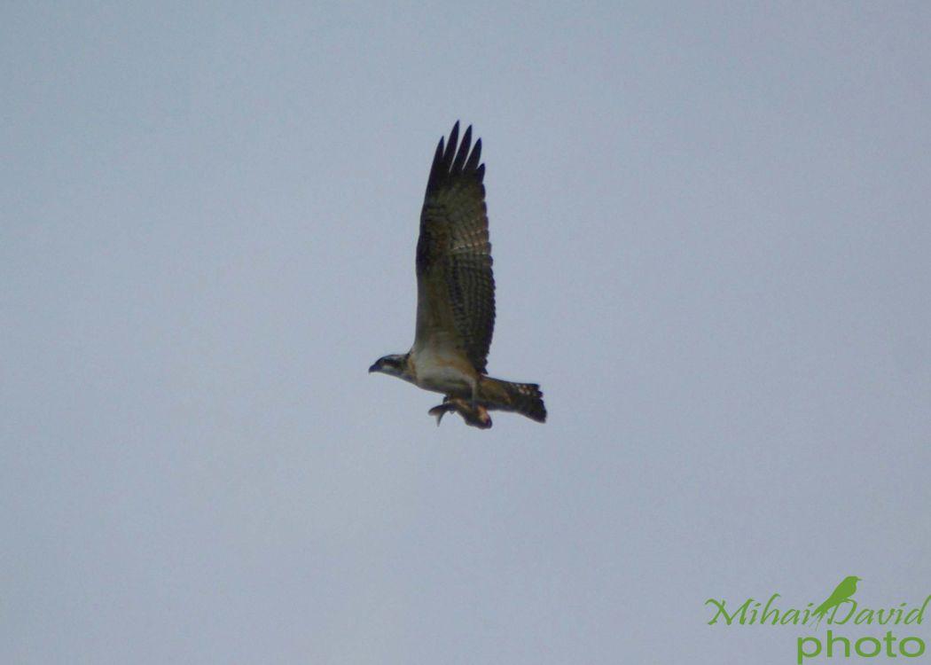 romania-birdwatching-tours-danube-delta-carpathians-transylvania-27