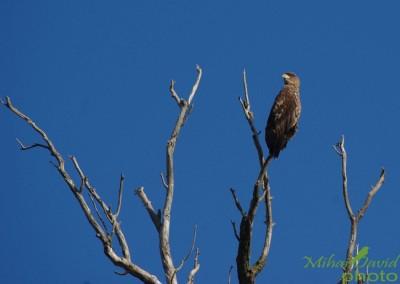 romania-birdwatching-tours-danube-delta-carpathians-transylvania--6