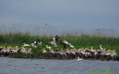 Pelicans in the Danube delta, their European stronghold