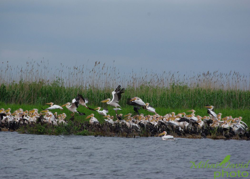romanian-tours-danube-delta-wildlife-pelicans