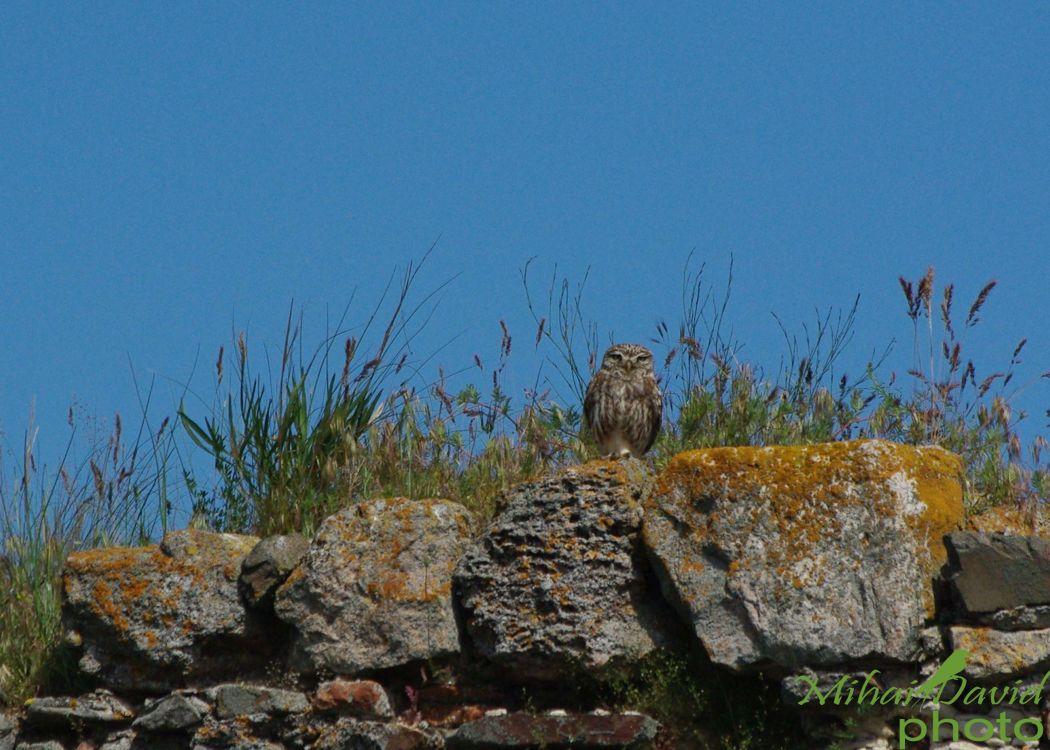 romania-birdwatching-tours-danube-delta-carpathians-transylvania-19