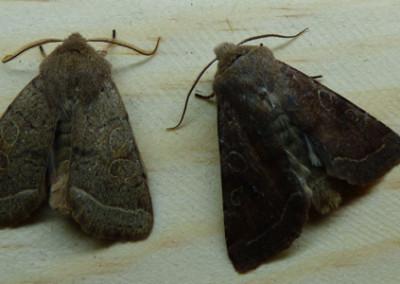 Orthosia cruda - male&female