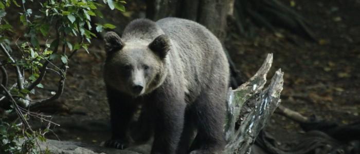 Carpathian Wildlife Bärenbeobachtung