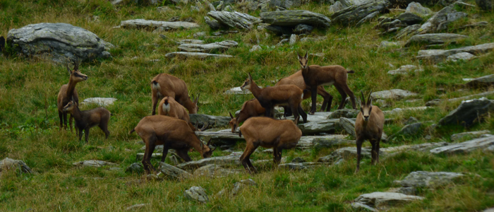 Doamnei-Tal-chamois-wildlife-Karpaten Wandertour