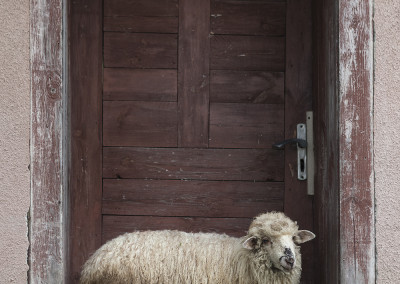 img_1327sheep-in-doorway_small