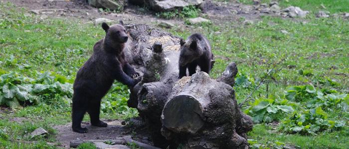 Bärenbeobachtung Carpathian Wildlife bears