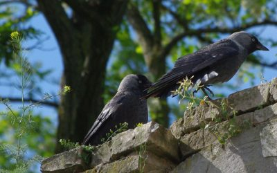 Corvidae : about Raven, Rooks and other birds